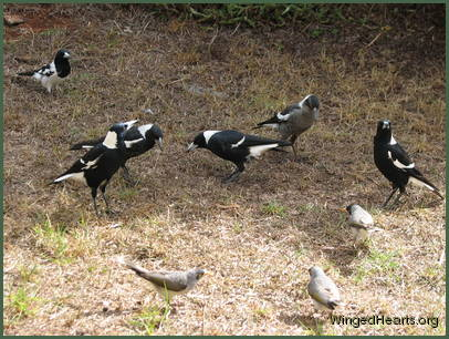 friends with the magpies and butcherbirds
