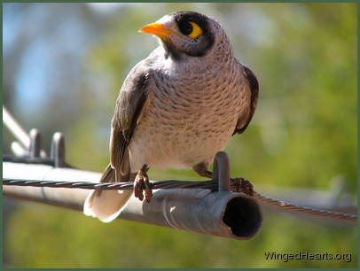 Noisy Miner sitting on the wire