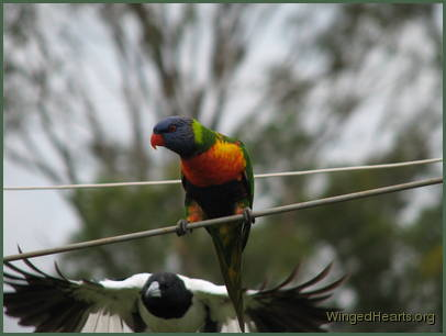 butcherbird and rainbow lorikeet making friends