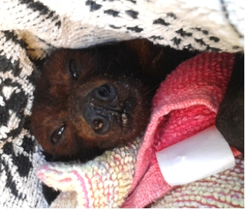 Rescued red flying fox