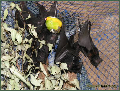 Gabriel Tuks joined the bat creche and returned to the colony