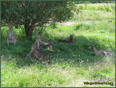 Wallabies relax in the shade at the Long Grass Wildlife Refuge