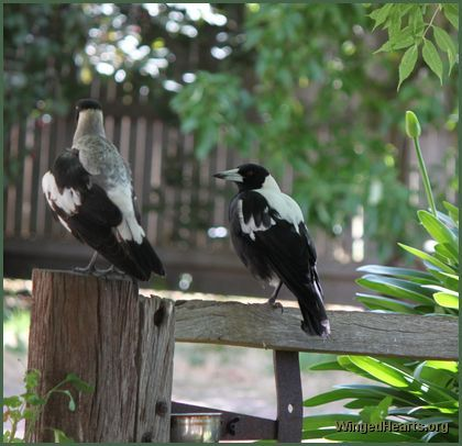 Greeted by a freind - Australian magpies