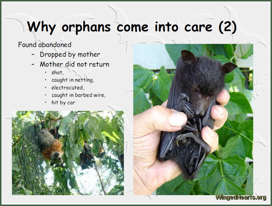 flying fox and bats - rescue and Rehabilitation